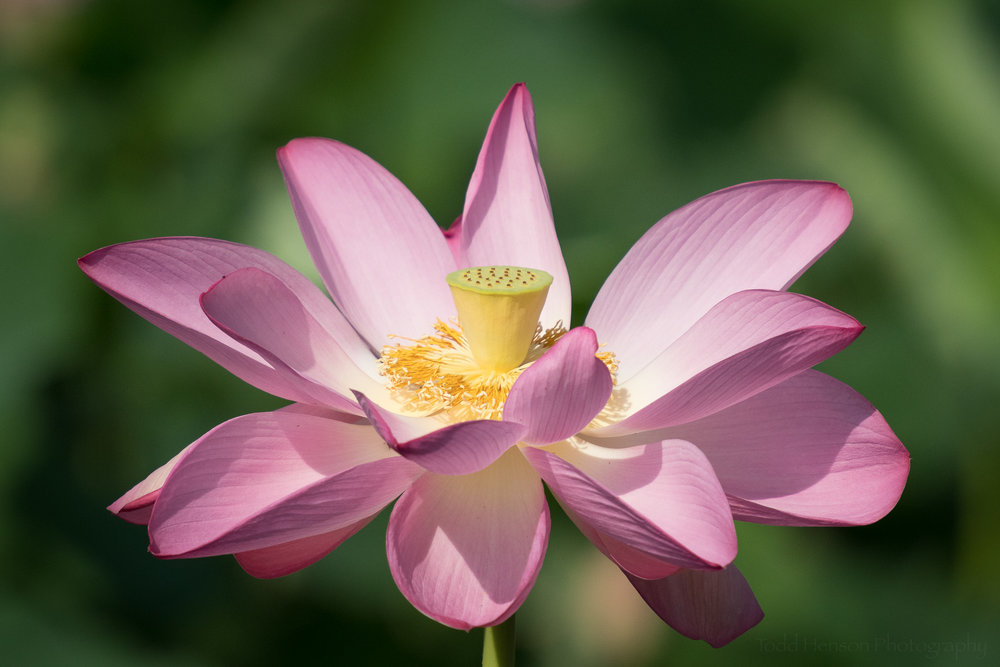 Stages of a lotus flower blooming at kenilworth aquatic gardens fully open lotus flower at kenilworth aquatic gardens mightylinksfo