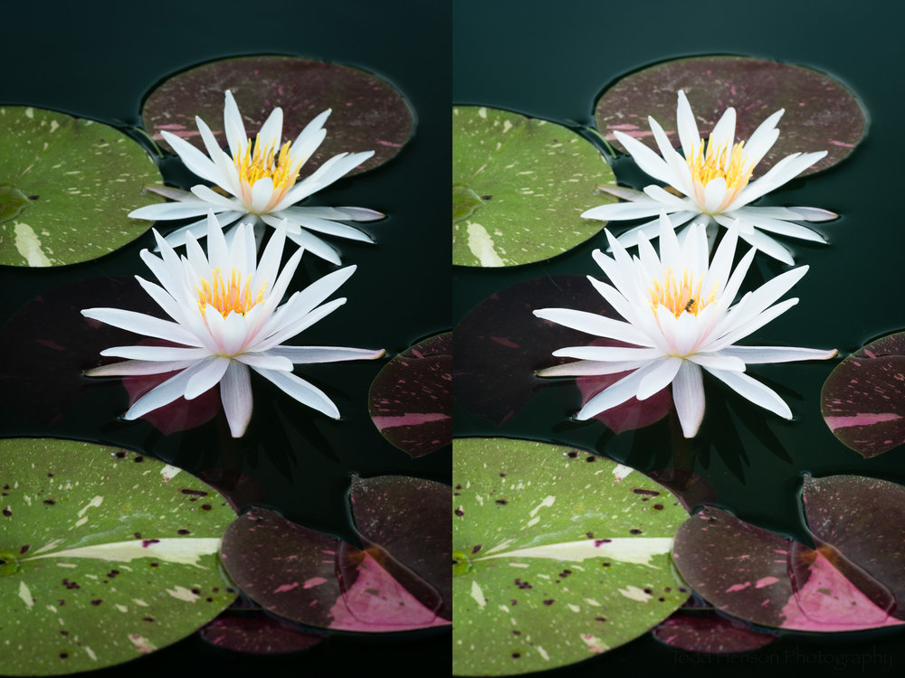 Pair of Arc-en-Ciel water lilies. Left: maximum effect from polarizing filter. Right: minimum effect from polarizing filter.