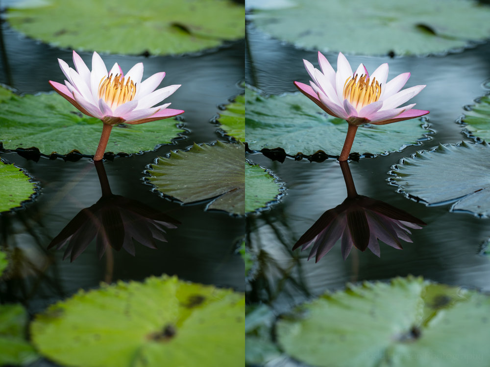 Pink water lily. Left: maximum effect from polarizing filter. Right: minimum effect from polarizing filter.