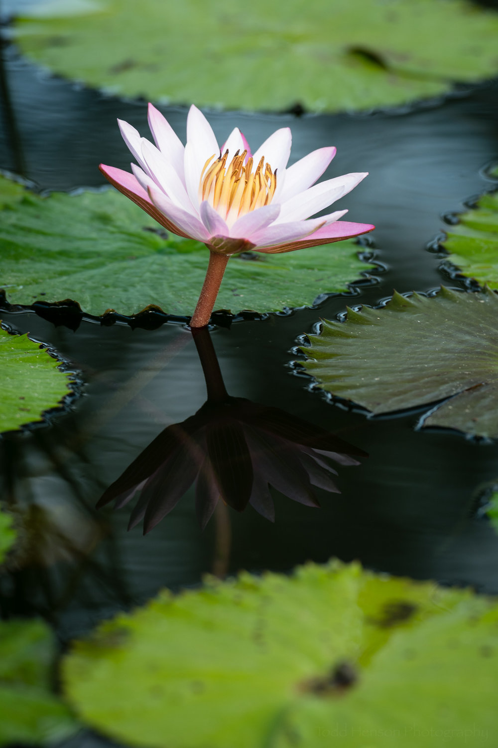 Pink water lily with maximum polarizing effect. I like the saturated colors of the green lily pads and the flower.