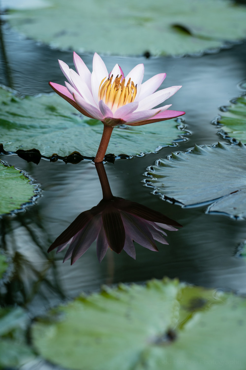 Pink water lily with minimum polarizing effect. I like the enhanced reflection but not the glare on the lily pads.