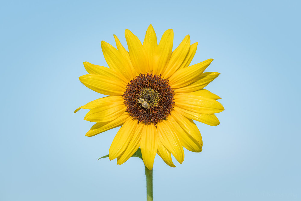 A bee on a young sunflower against a cloudless blue sky.