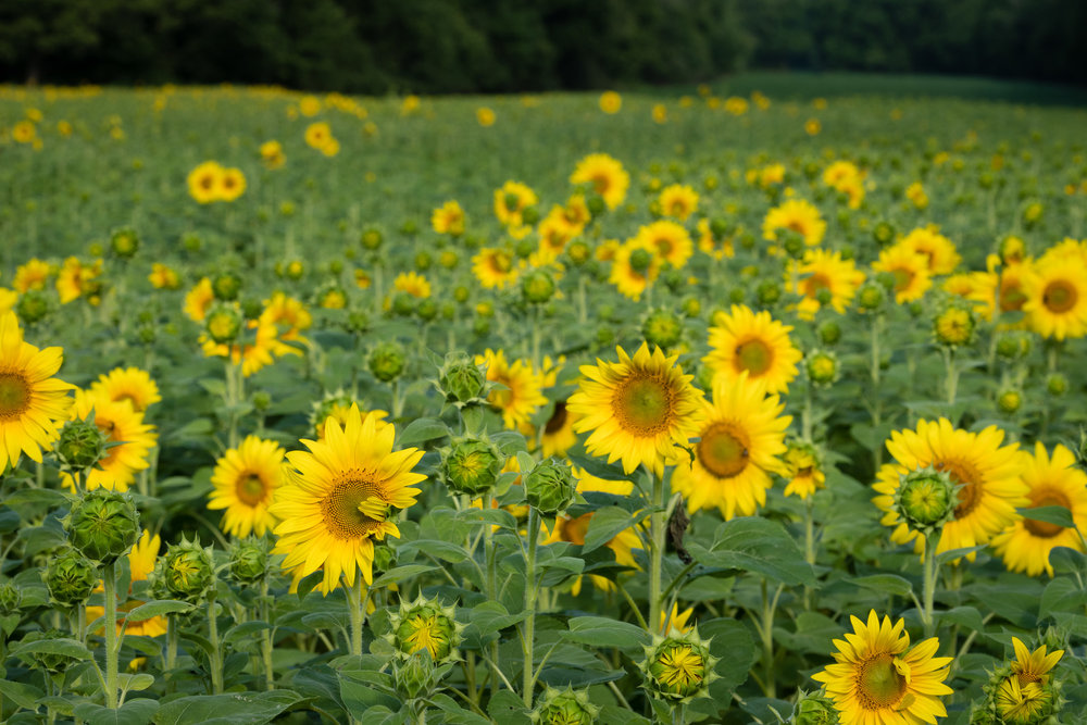 Facing the field of sunflowers, partly in bloom.