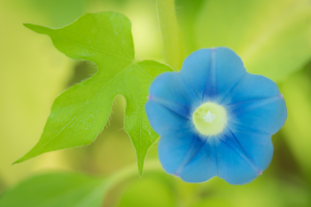 A beautiful blue morning glory flower against a green background, found in a field of sunflowers.