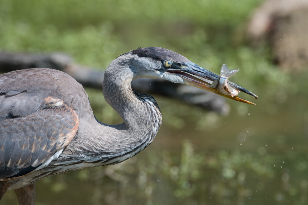 Great Blue Heron with a fish in its beak. Its nictitating membrane is closed over its eye, which is why it looks milky.