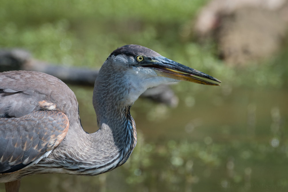 Finally, the Great Blue Heron swallows the fish whole.