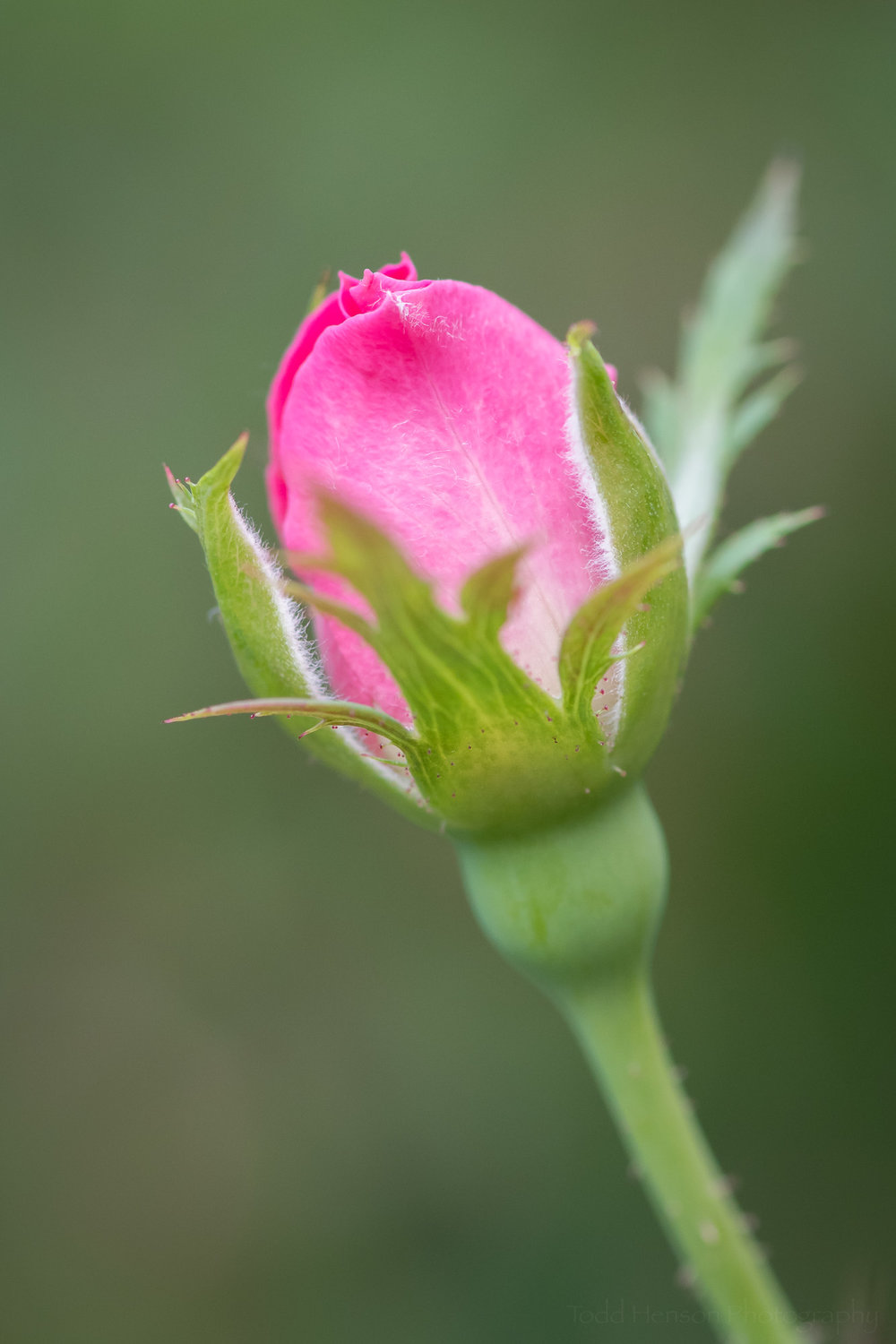 A young rose bud