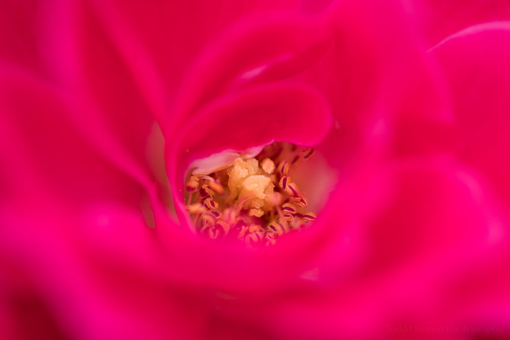 Inside a red rose