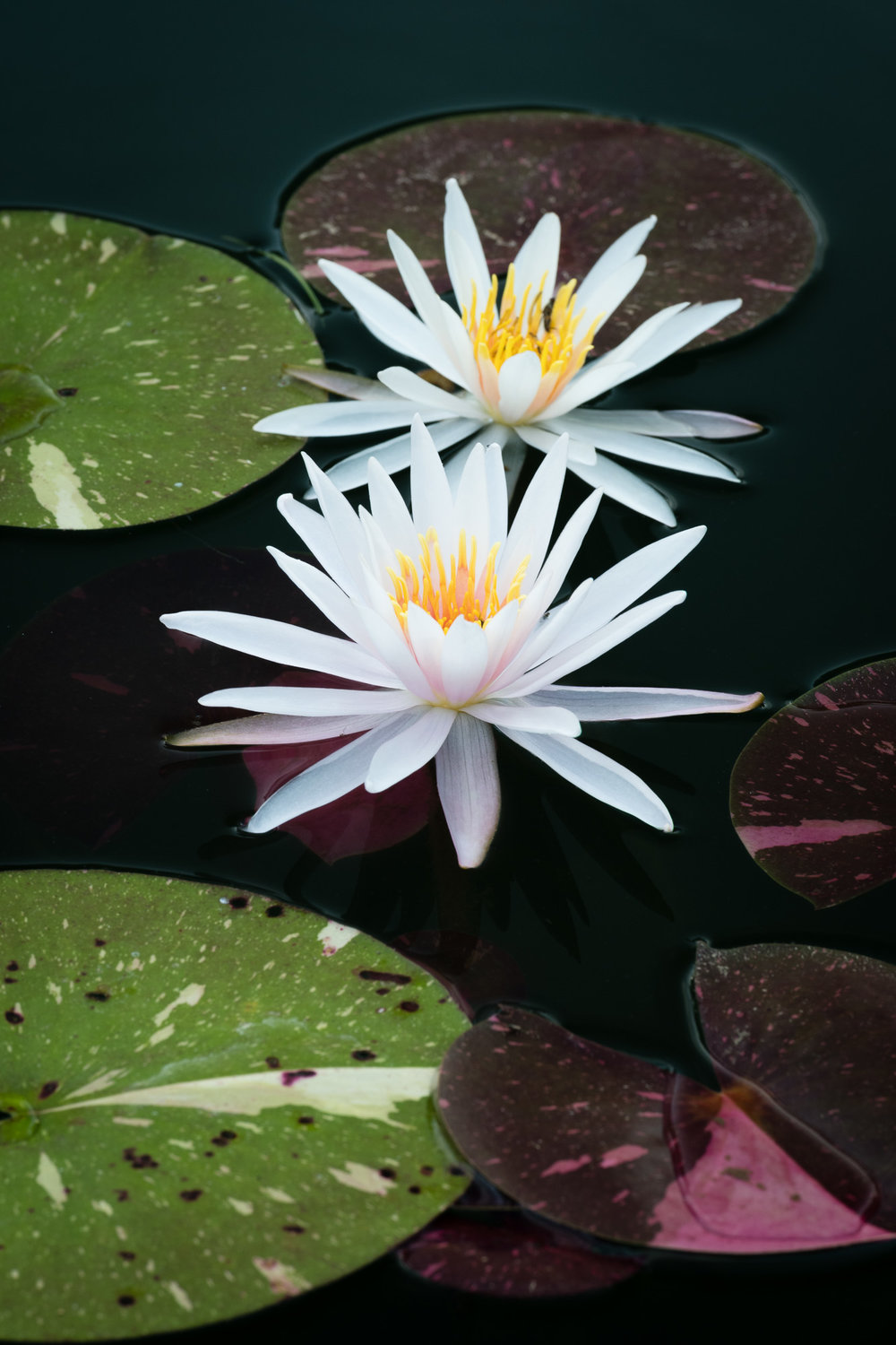 Examples of Using a Polarizing Filter with Water Lilies