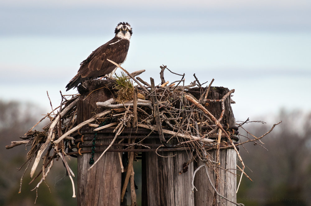 Osprey facing the camera on a windy day, with head feathers sticking straight up.