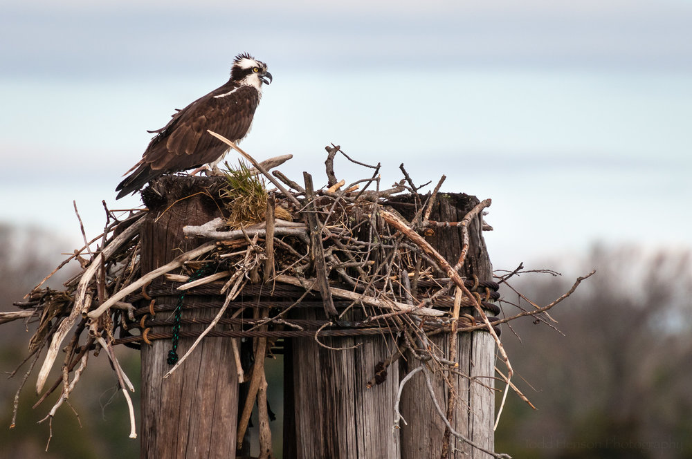 Osprey building a nest on a windy day.