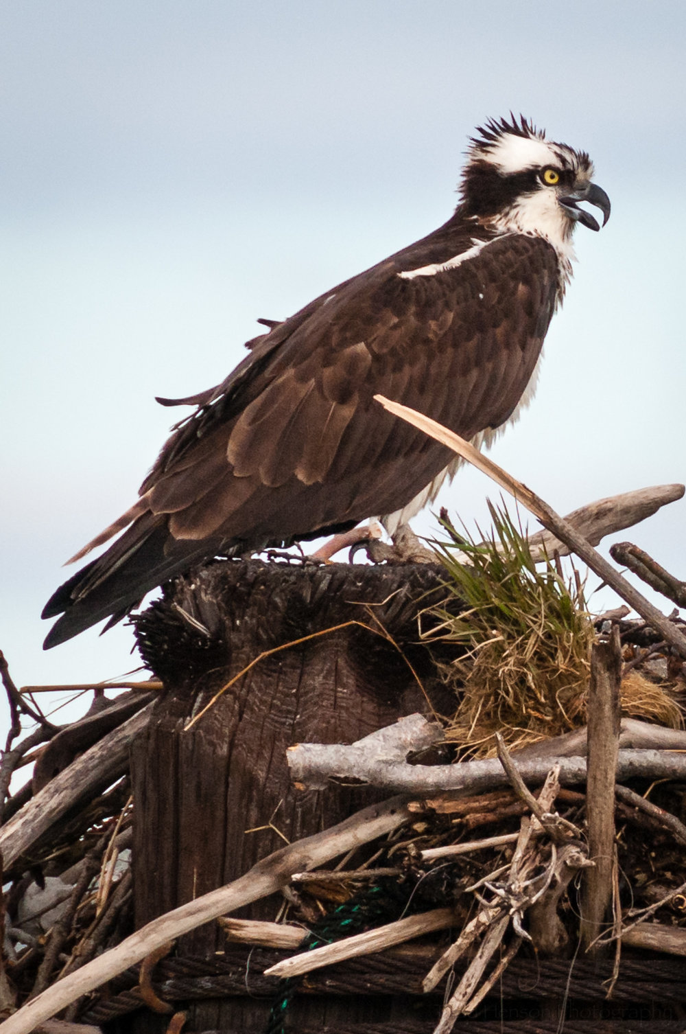 Side view of osprey on its nest on a windy day.