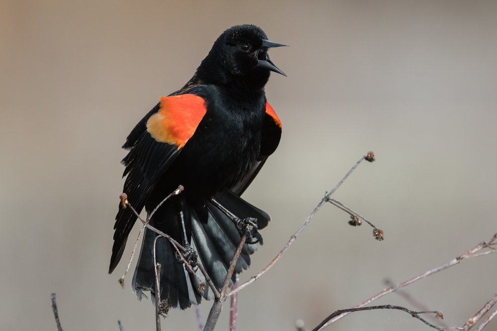 Image of a singing Red-winged Blackbird in a wetlands environment. Click to see a larger view.