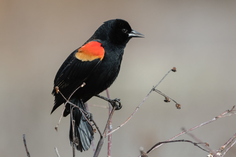 singing-red-winged-blackbird-sequence-1_THP.jpg