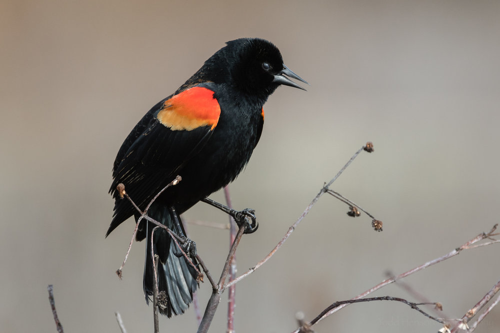 singing-red-winged-blackbird-sequence-2_THP.jpg