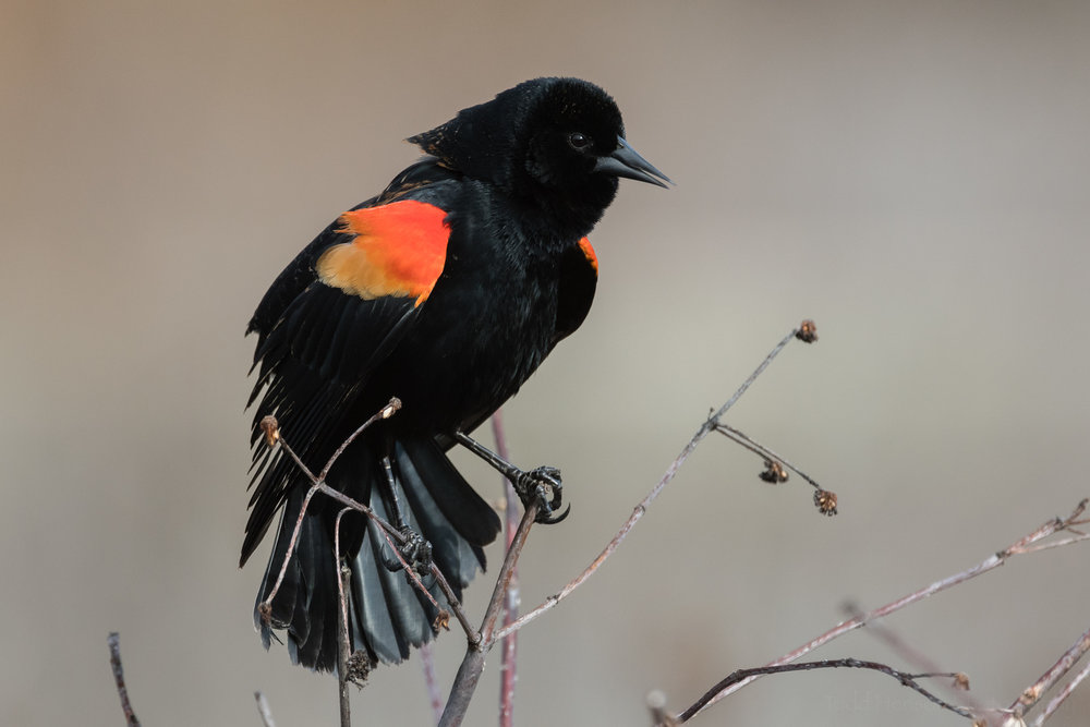 singing-red-winged-blackbird-sequence-4_THP.jpg