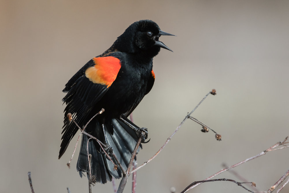 singing-red-winged-blackbird-sequence-12_THP.jpg