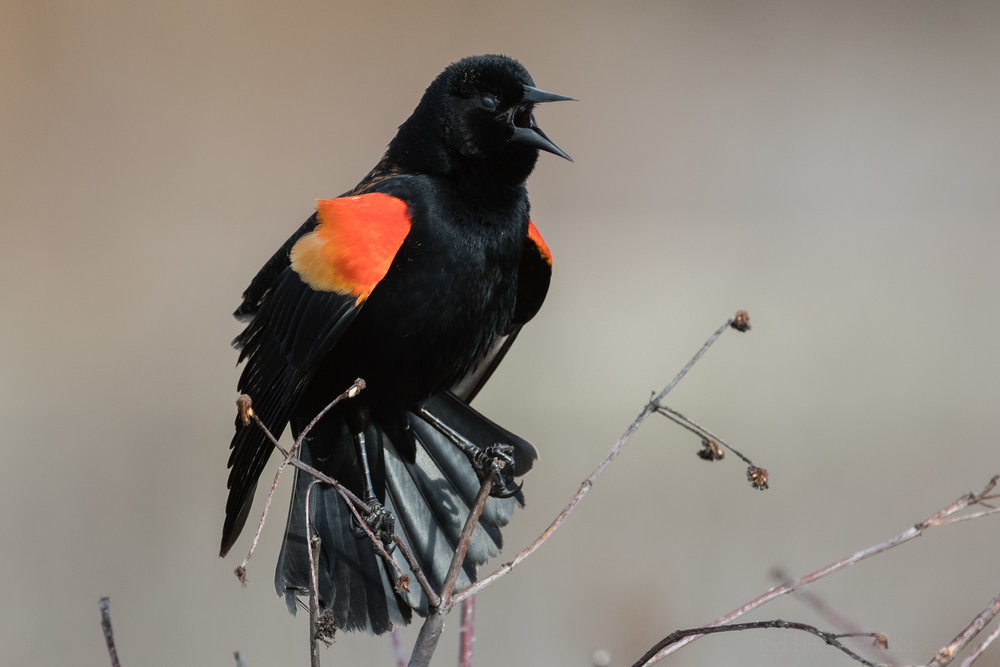 Red-winged Blackbird with nictitating membrane covering its eye. Click the image for a larger view.