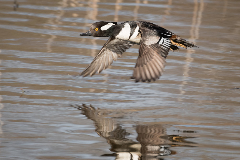 A male Hooded Merganser flying low over water.