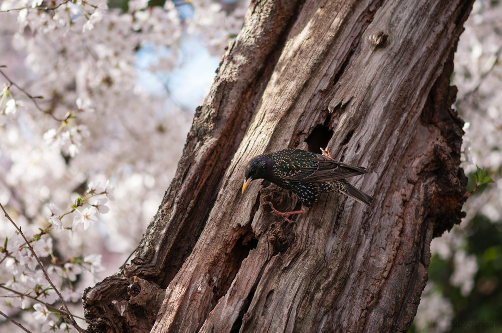 European Starling outside its nest hole in a cherry tree.