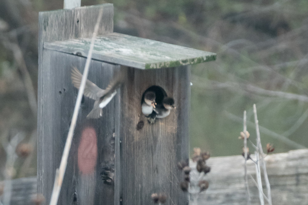 A swallow flies by, watching two little Hooded Merganser ducklings in their nest box.