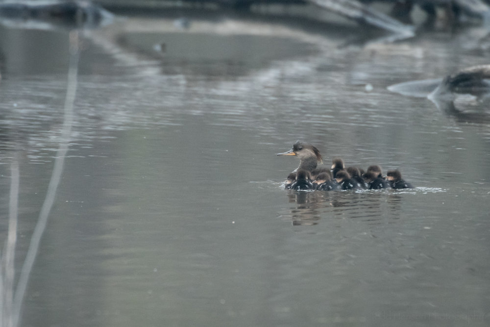 Hooded Merganser Family sticking together and swimming further into the wetlands.