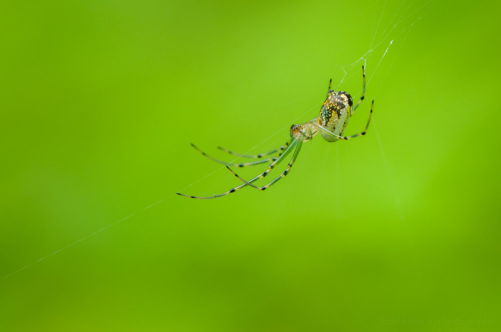 Profile image of an Orchard Spider.