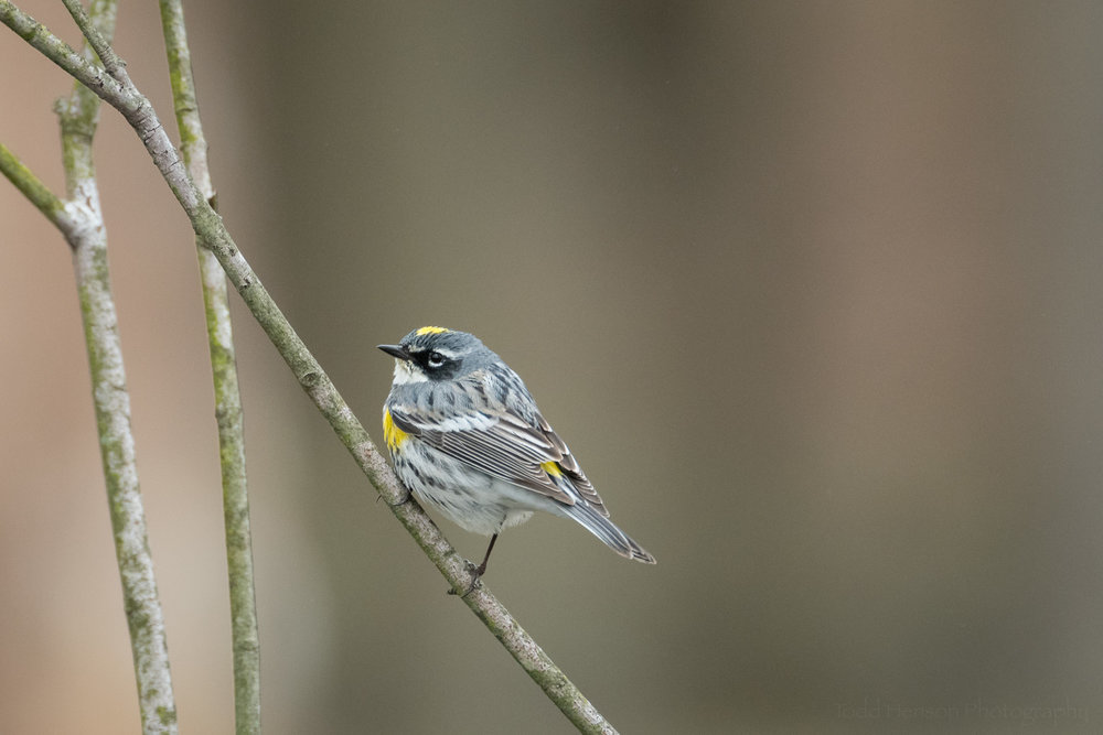 Yellow-rumped (Myrtle) Warbler perched on a branch.