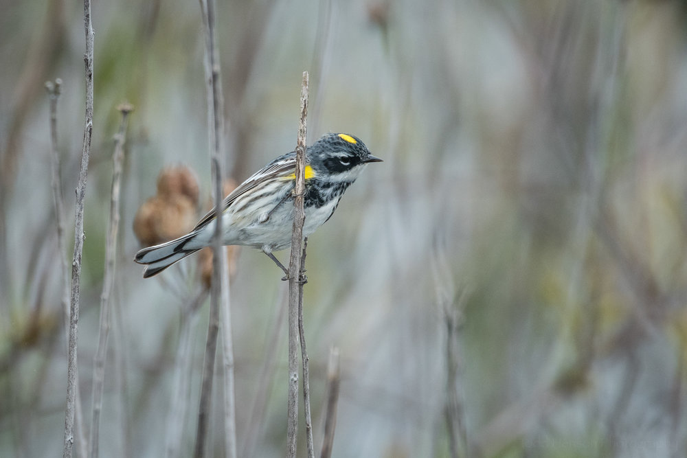 Side and underside of a Yellow-rumped (Myrtle) Warbler in the brush.