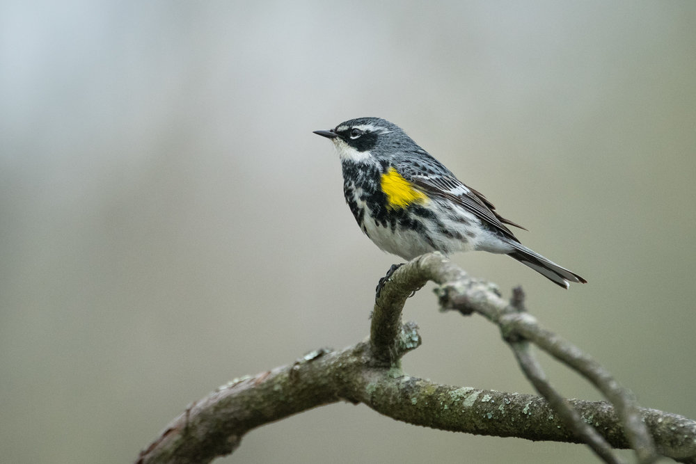 Profile of a Yellow-rumped (Myrtle) Warbler perched on a branch.