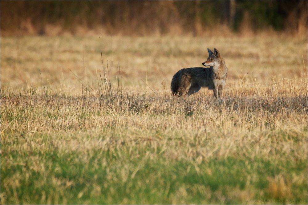 I saw this Coyote out in a field and photographed it looking over its shoulder.