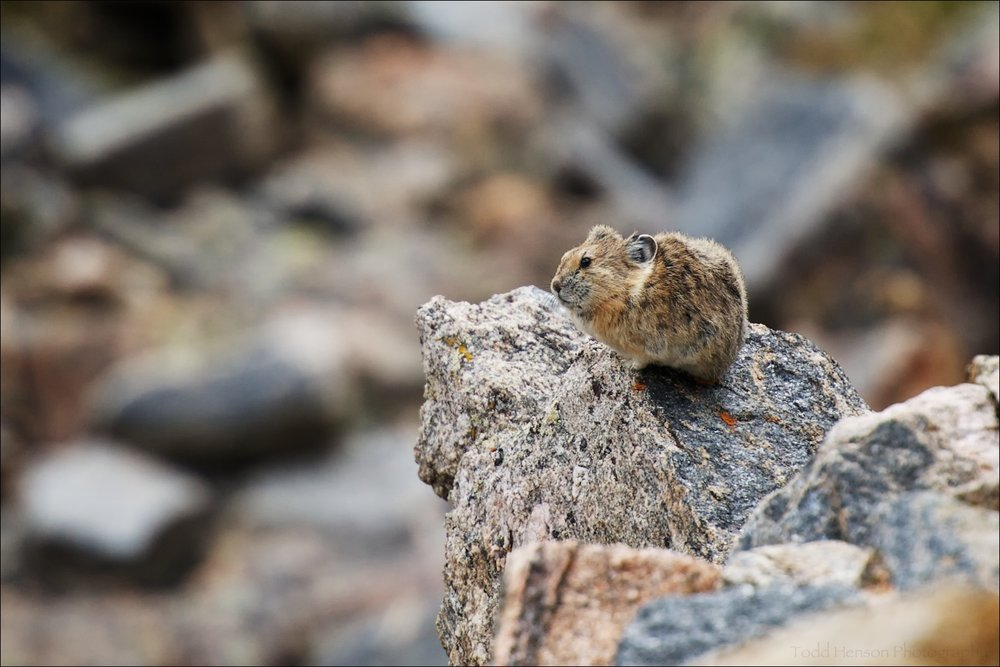 An American Pika I photographed on the edge of a rock in Rocky Mountain National Park.