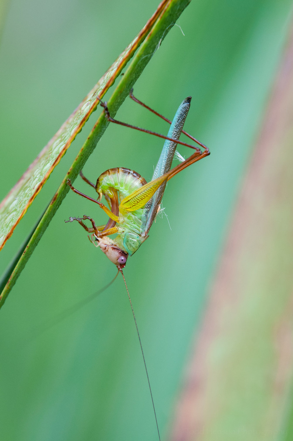 First of a sequence of a katydid cleaning itself.