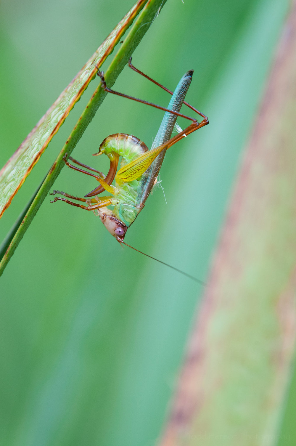 Fifth of a sequence of a katydid cleaning itself.