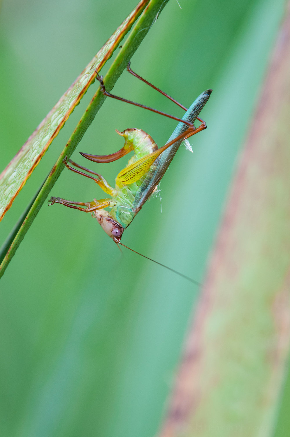 Sixth of a sequence of a katydid cleaning itself.