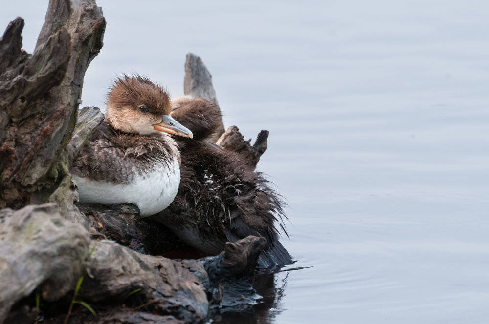 A young Hooded Merganser resting on a downed tree.