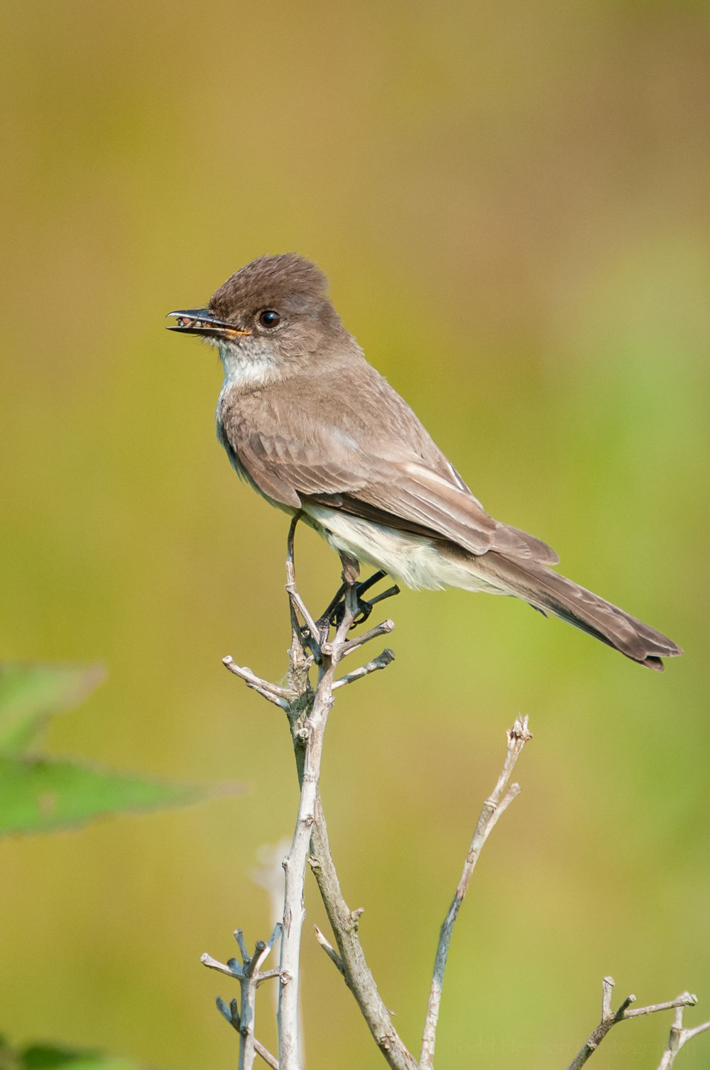 Eastern Phoebe with another insect in its beak