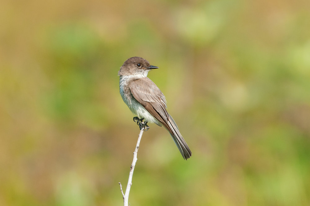 Eastern Phoebe looking back over its shoulder