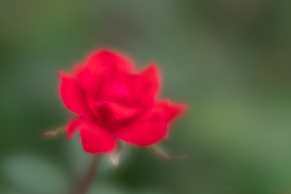 A red rose photographed with the Lensbaby Velvet 56 using a very large aperture to really increase the soft, ethereal look.