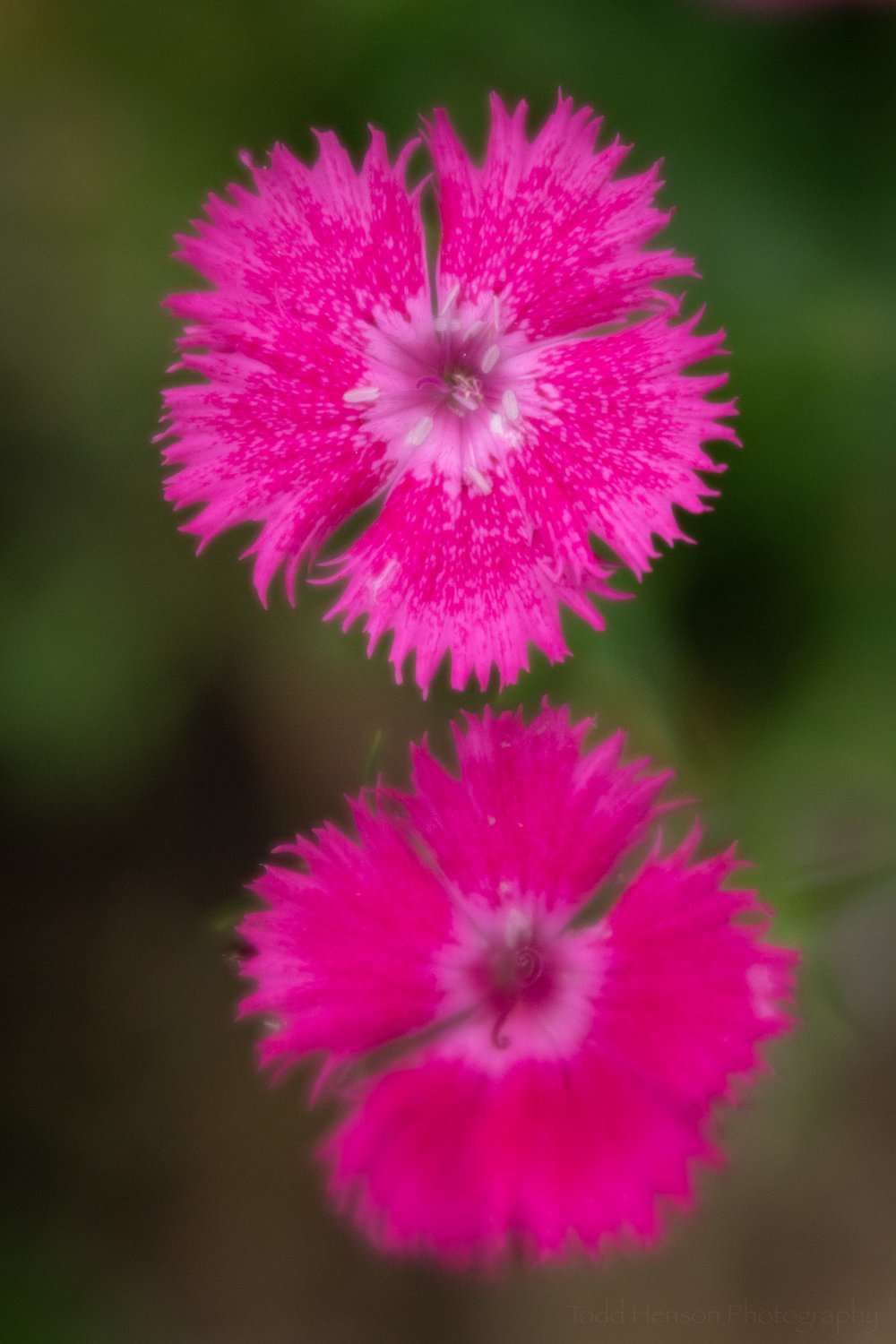 A pair of pink dianthus photographed with the Lensbaby Velvet 56 using a smaller aperture.