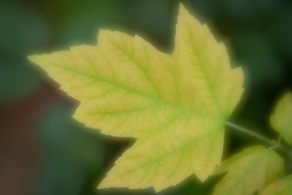 A large aperture on the Lensbaby Velvet 56 created a soft glow around this yellow maple leaf.