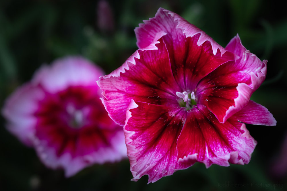A pair of dianthus photographed with the Lensbaby Velvet 56.