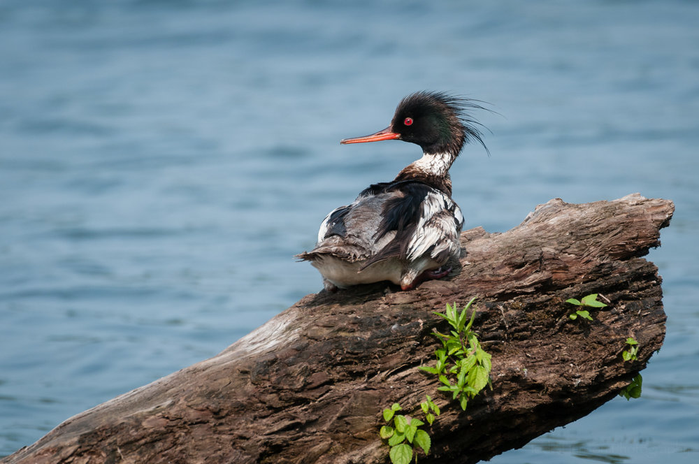 A male Red-breasted Merganser sitting on a log looking over its shoulder.   Available for purchase.