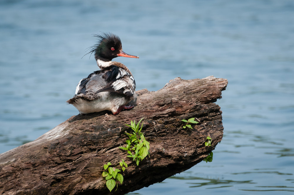 Male Red-breasted Merganser resting on a log.   Available for purchase.