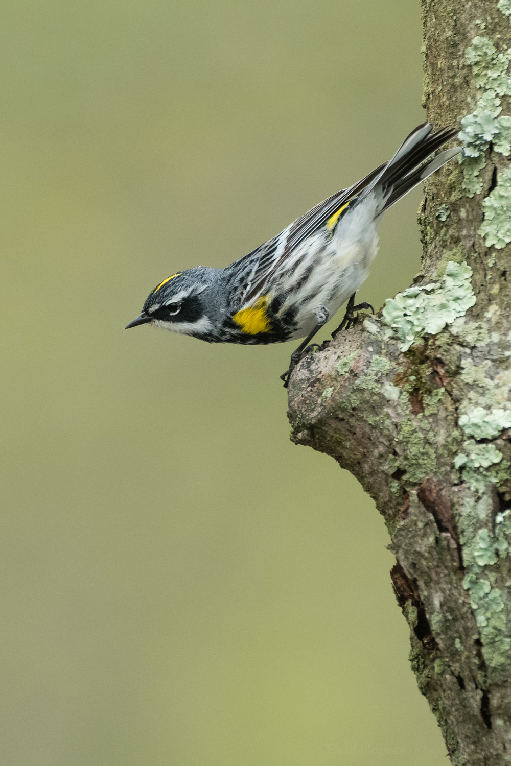 A Yellow-rumped Warbler preparing to fly. I deliberately positioned myself to take advantage of the out of focus green background.