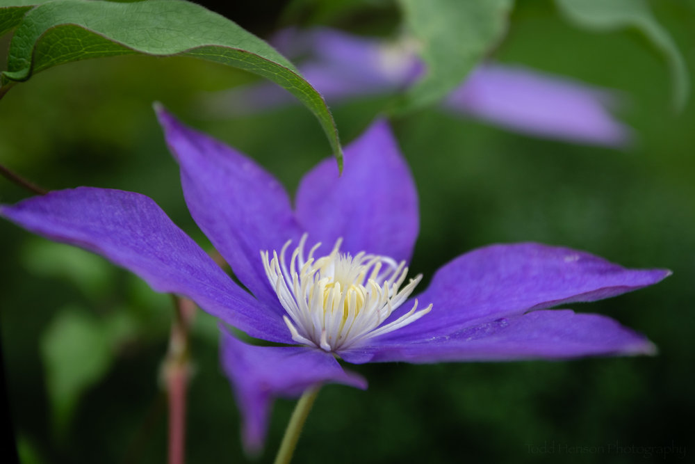Clematis in the Garden #2