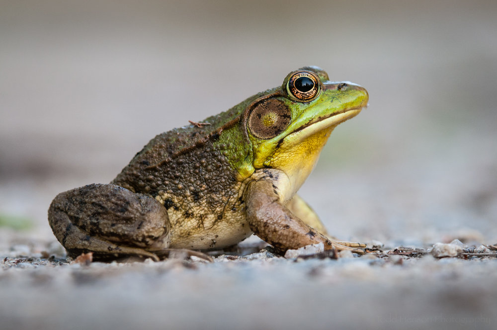 Portrait of a Green Frog. Final Image.