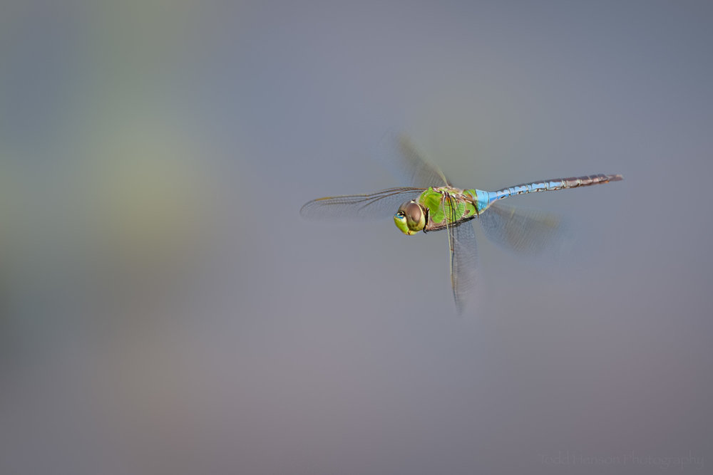 Common Green Darner Dragonfly in Flight