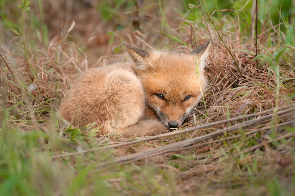 Red Fox Kit - Resting