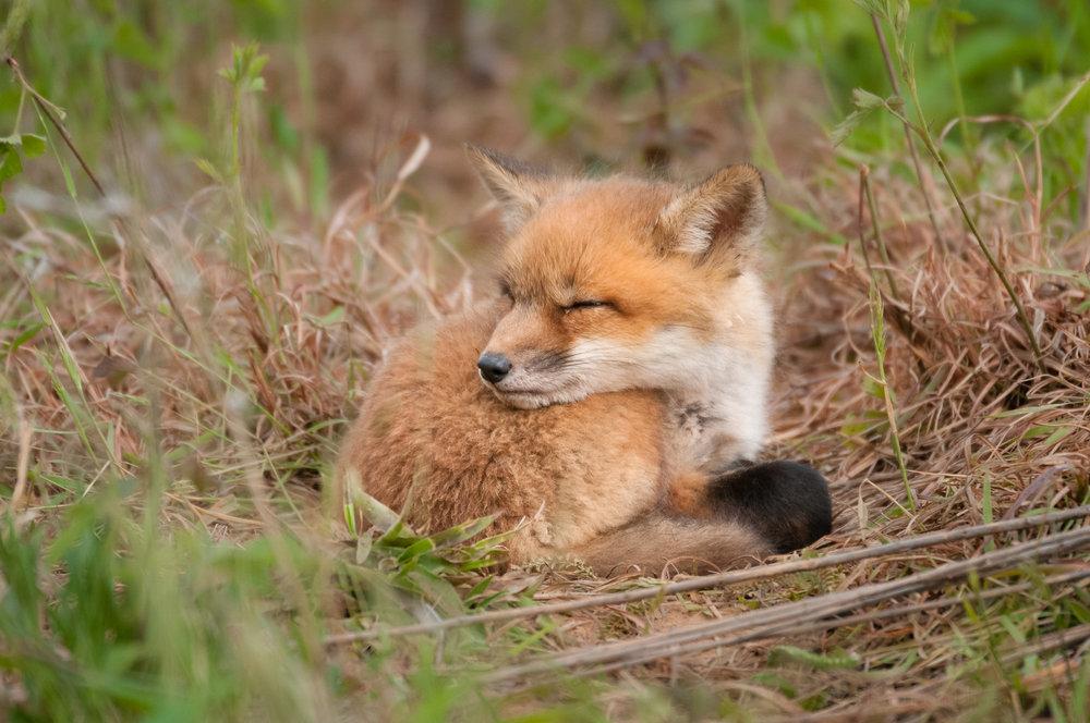 Red Fox Kit - Sleeping #2